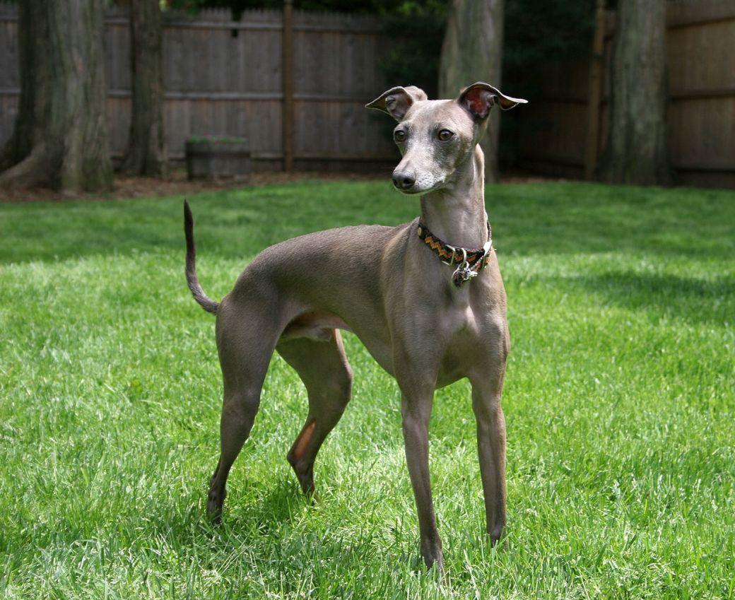1254px-Italian_Greyhound_standing_gray