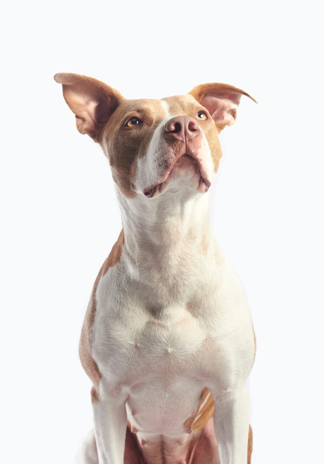 adult-tan-and-white-american-pit-bull-terrier-825944