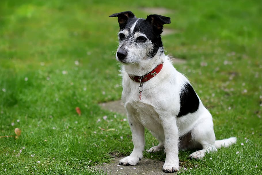 animal-dog-jack-russell-terrier