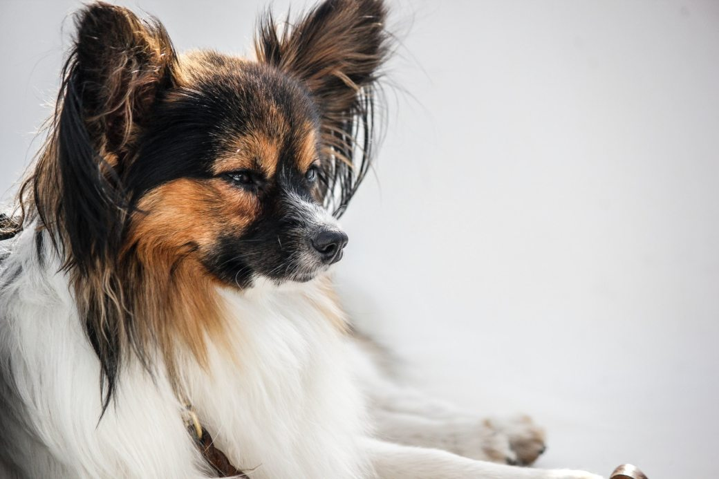 animal-dog-papillon-pet-289592