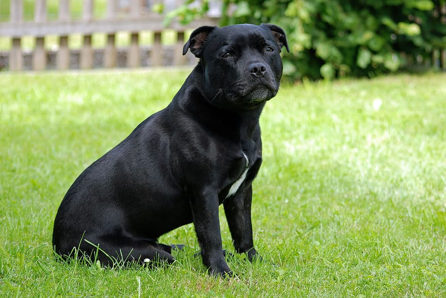 animal-dog-staffordshire-bull-terrier-model-sit