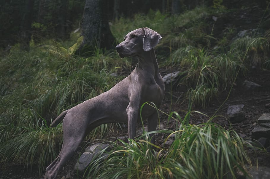 animal-dog-weimaraner-gun-dog