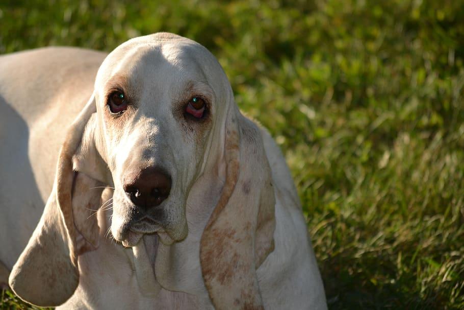 basset-hound-basset-hound-dog
