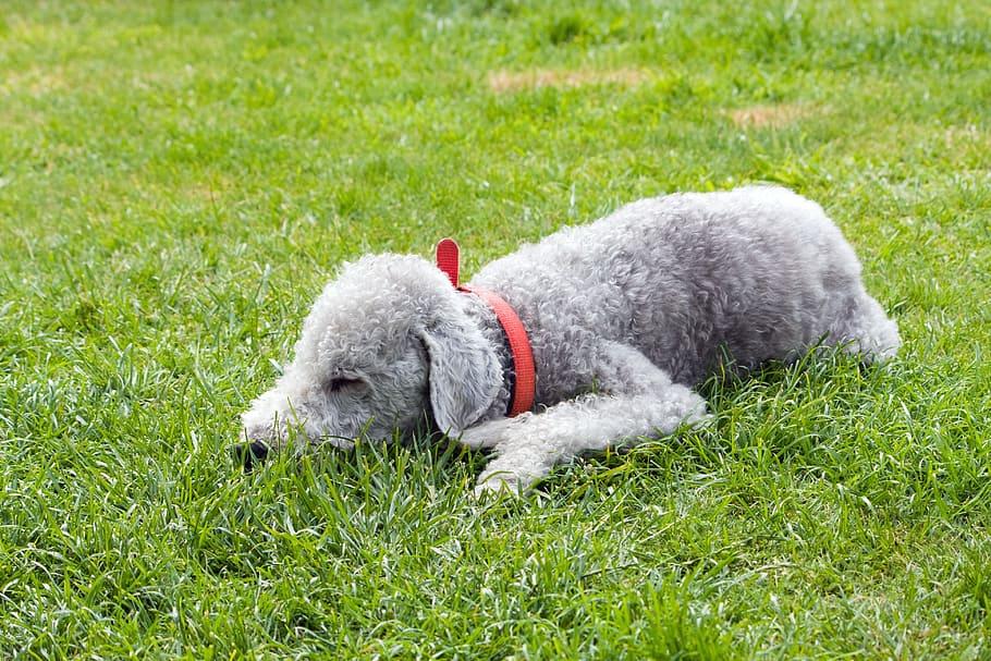 bedlington-terrier-dog-pet-animal