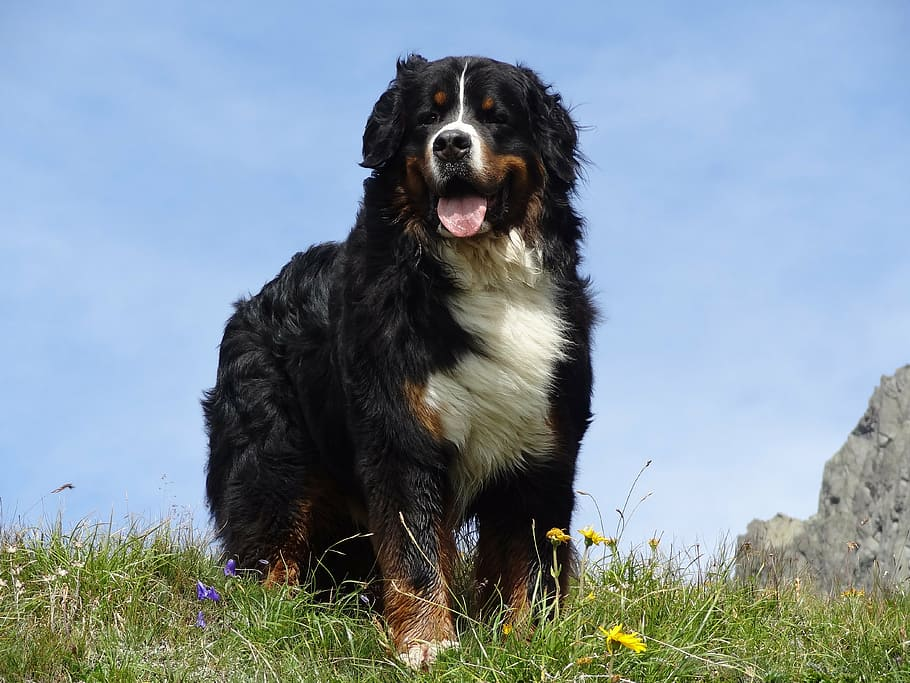 bernese-mountain-dog-animal-picture-dog-mountains