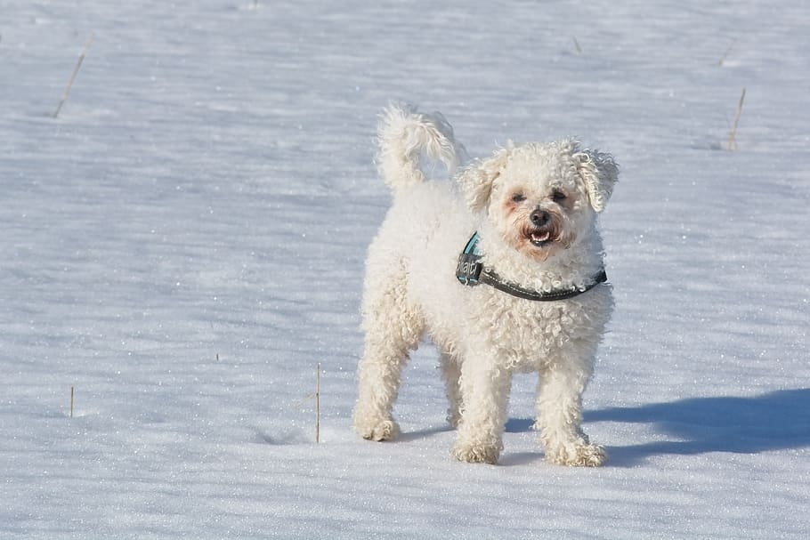 bichon-frise-bichon-dog-breed-dog (1)