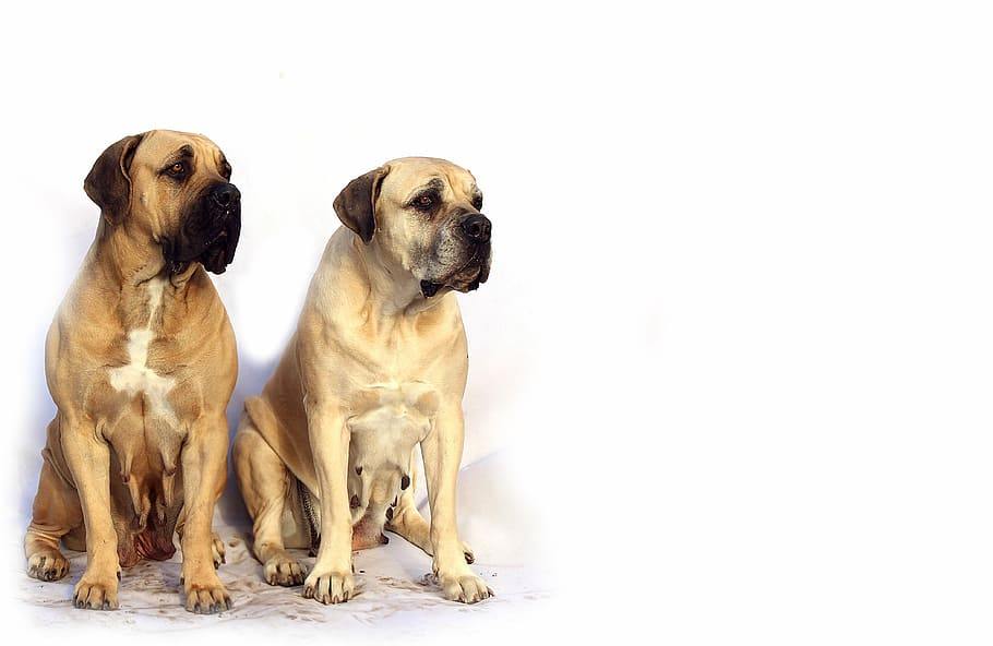 bordeaux-mastiff-dog-animal