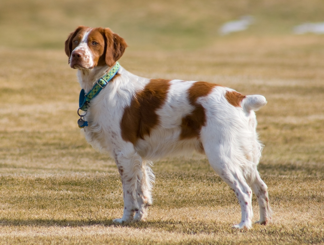 Brittany Spaniel standing