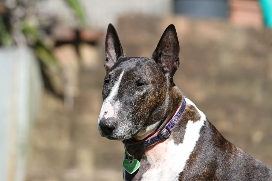 bull-terrier-dog-animal