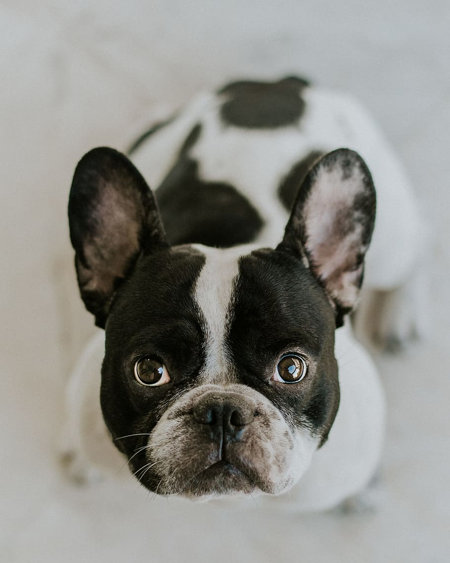 bulldog-dog-frenchie-french-bulldog