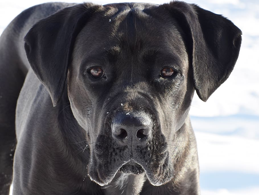 cane-corso-dog-puppy-pet