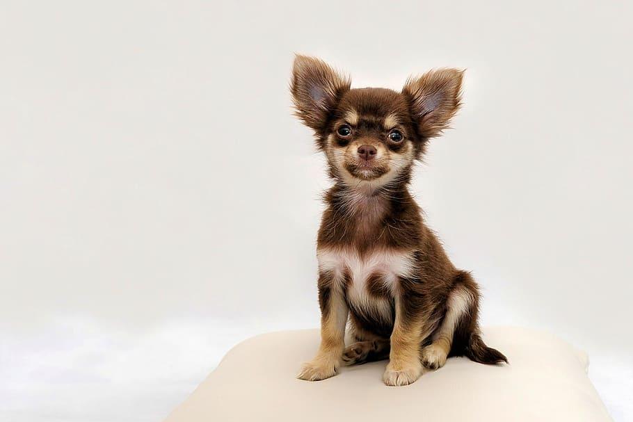chihuahua-small-dog-dog-chiwawa