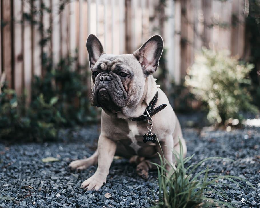coco-frenchie-flatface-bulldog