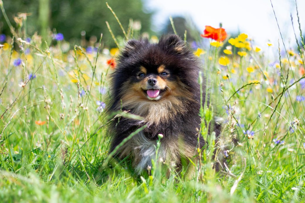 cute-animal-dog-little-dog-pomeranian-2737391