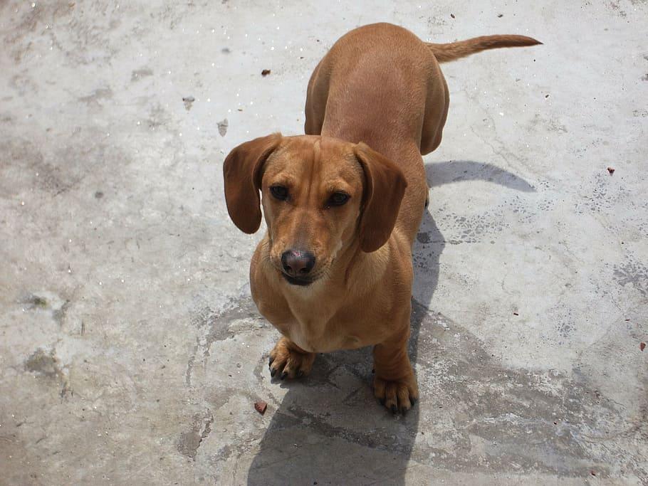 dachshund-dog-puppy-canine