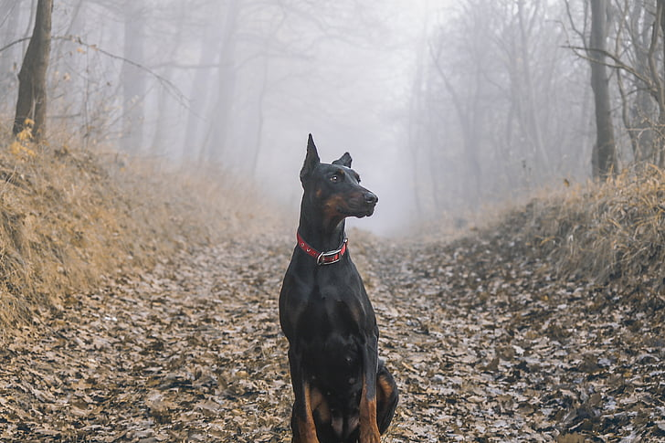 doberman-pinscher-dog-pet-preview