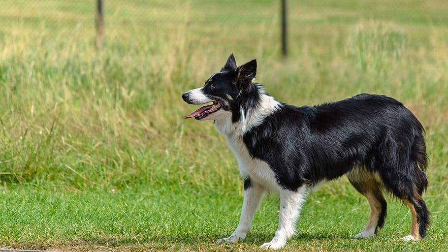 dog-border-collie-looking-playing