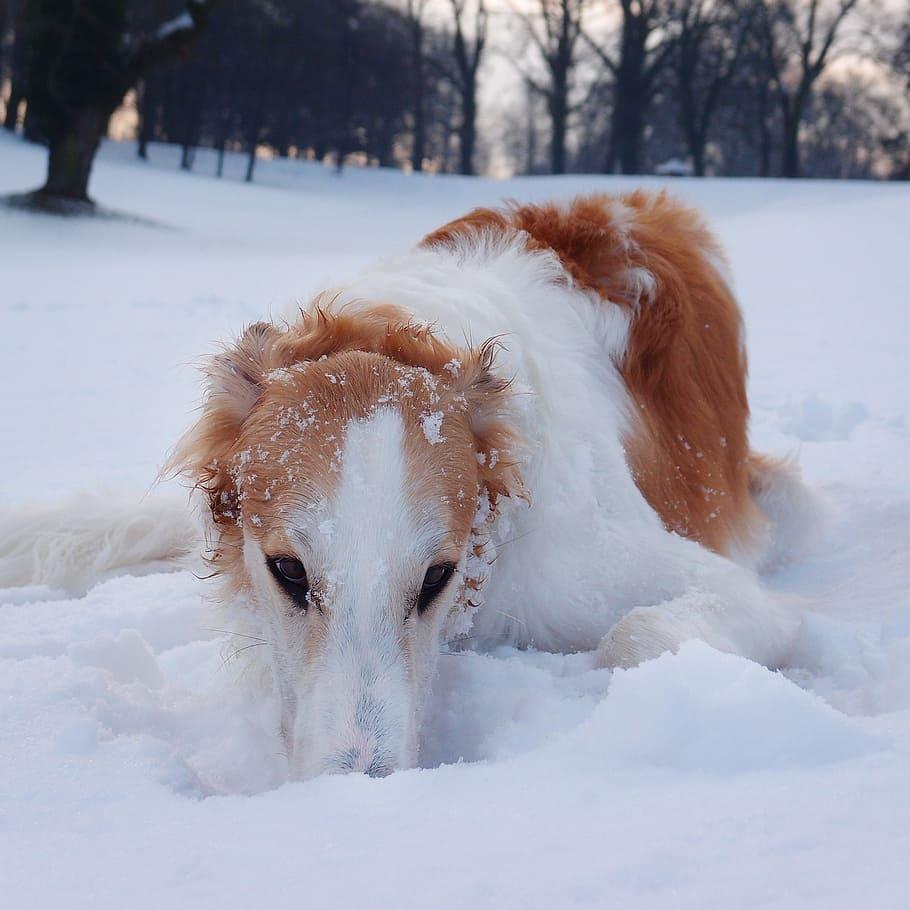 dog-borzoi-hound-winter