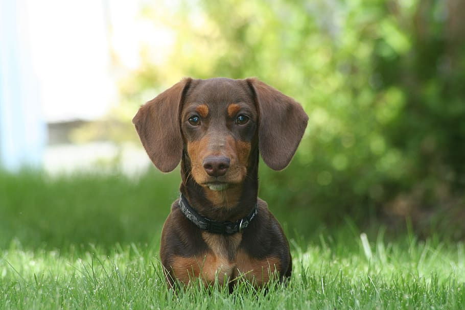 dog-dachshund-small-pet