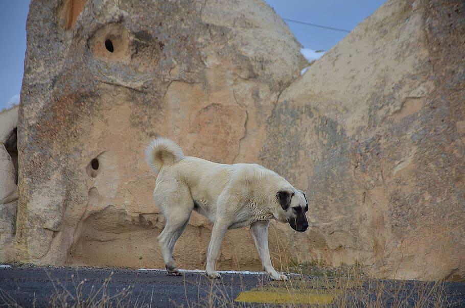 dog-dogs-animal-kangal