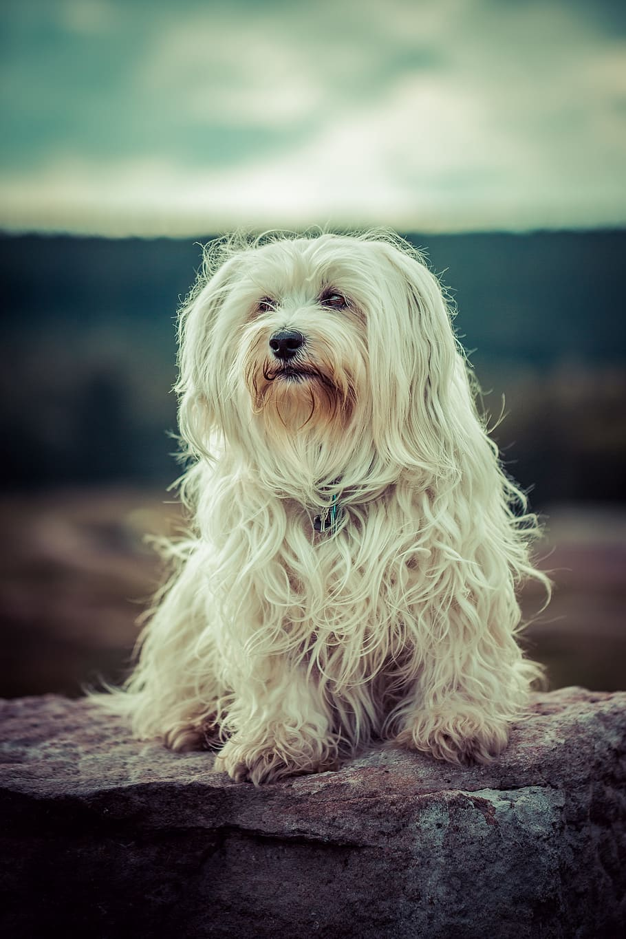 dog-flare-havanese-pet