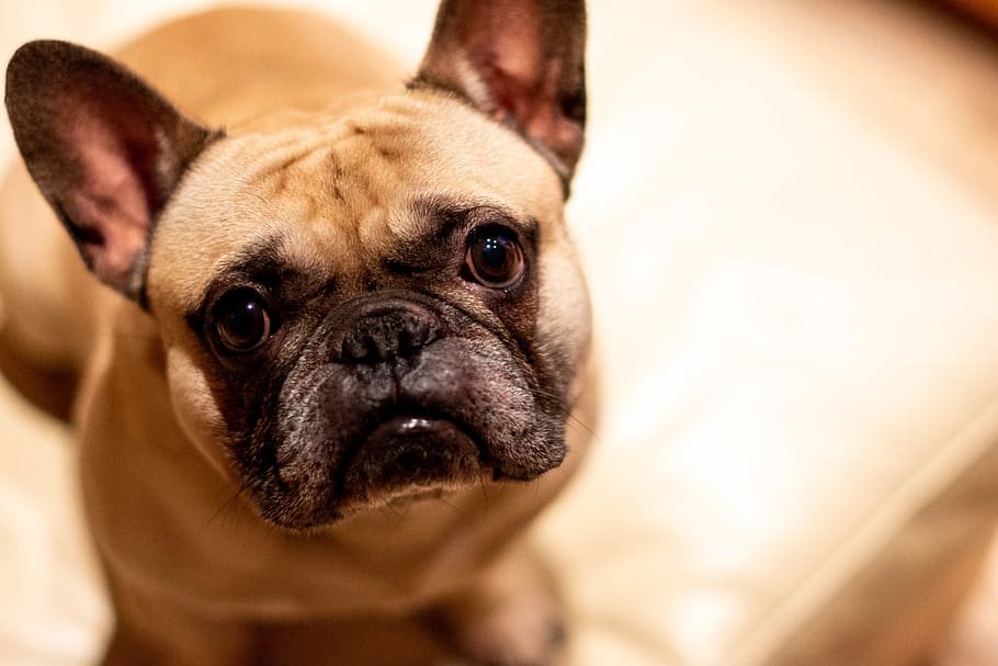 dog-frenchie-french-bulldog-bulldog
