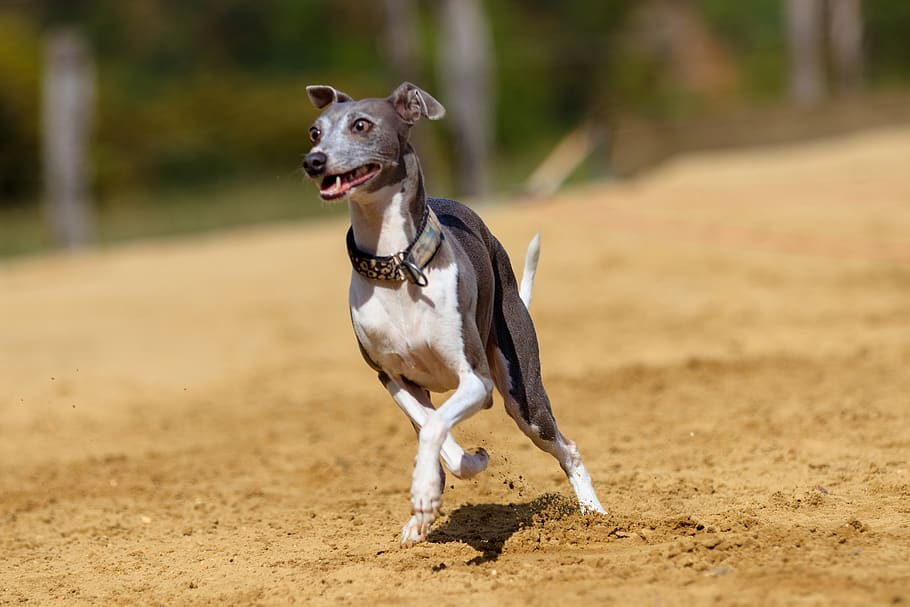 dog-greyhound-pet-animal-portrait (1)