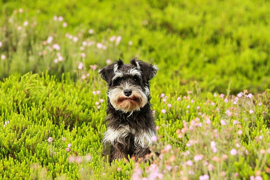 dog-heide-grass-schnauzer