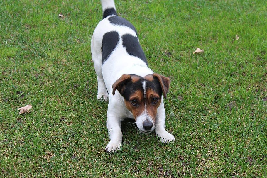 dog-jack-russell-terrier-fun-friend