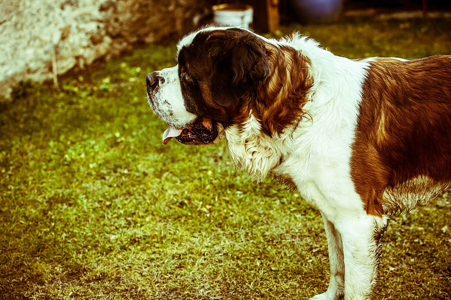 dog-nature-big-dog-saint-bernard