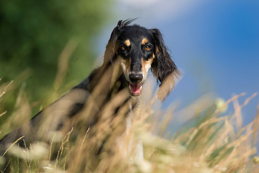 dog-pet-pets-saluki