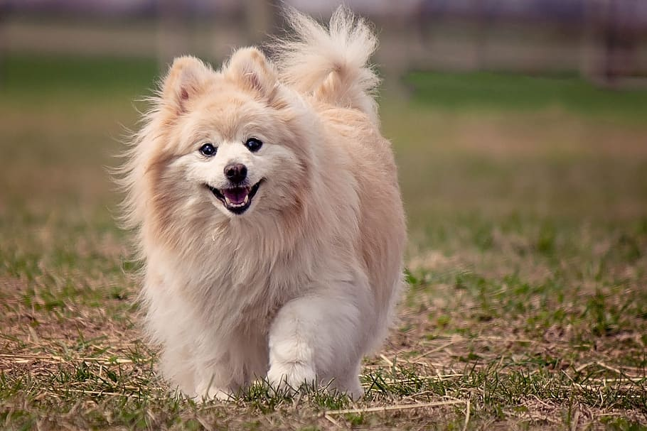 dog-pomeranian-cute-animal