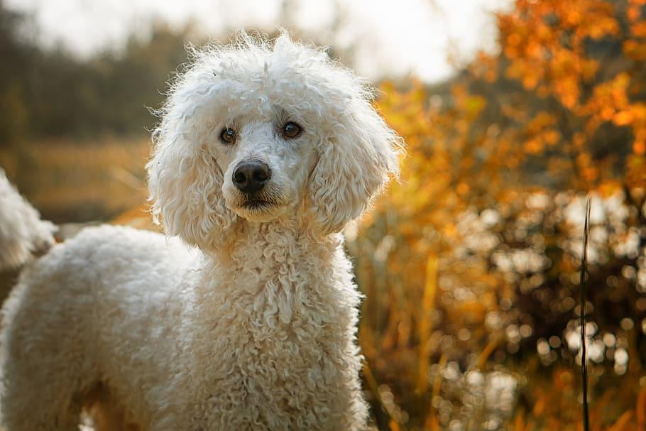 dog-poodle-the-poodle-the-dog-breed