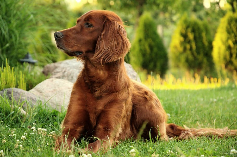 dog-portrait-irish-setter