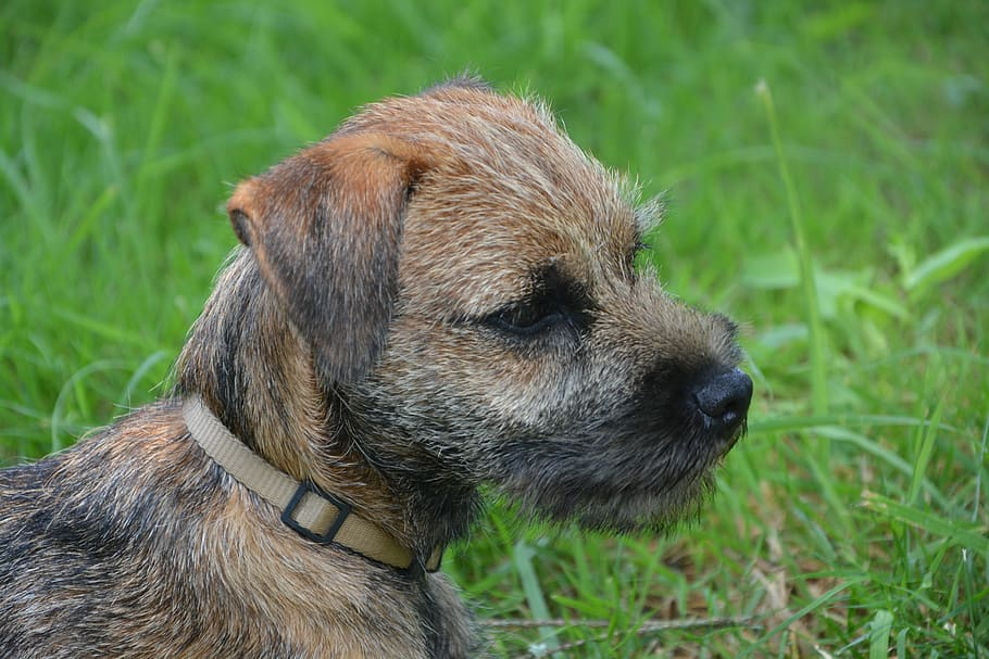 dog-puppy-race-border-terrier (1)