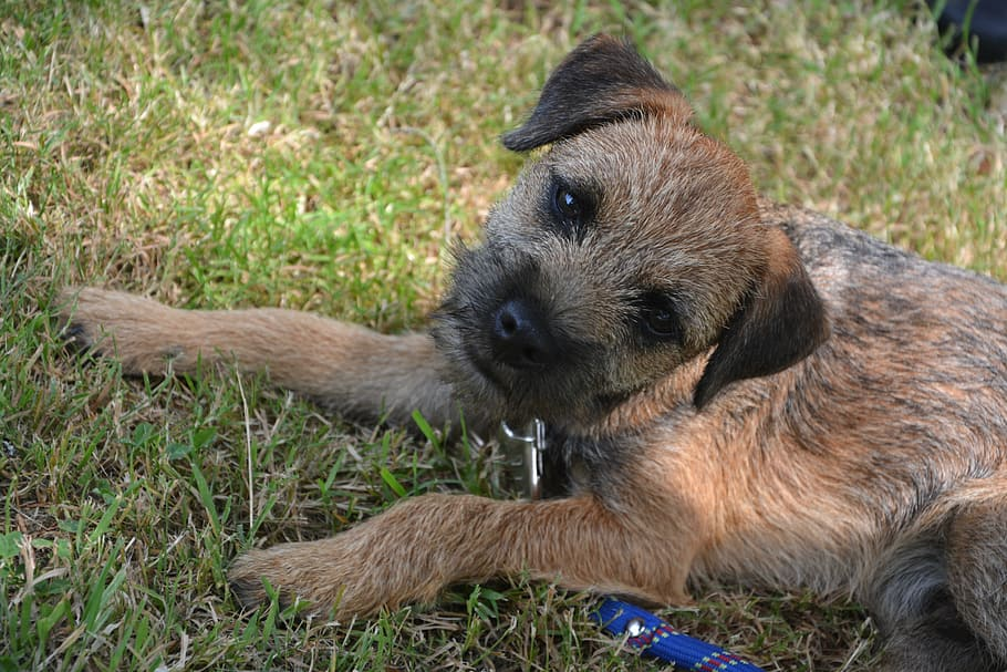 dog-puppy-race-border-terrier