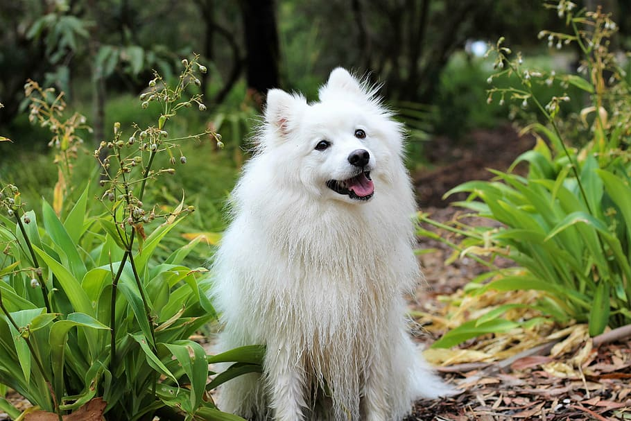 dog-puppy-spitz-love