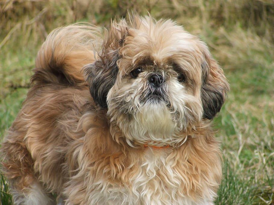 dog-shih-tzu-animal-small
