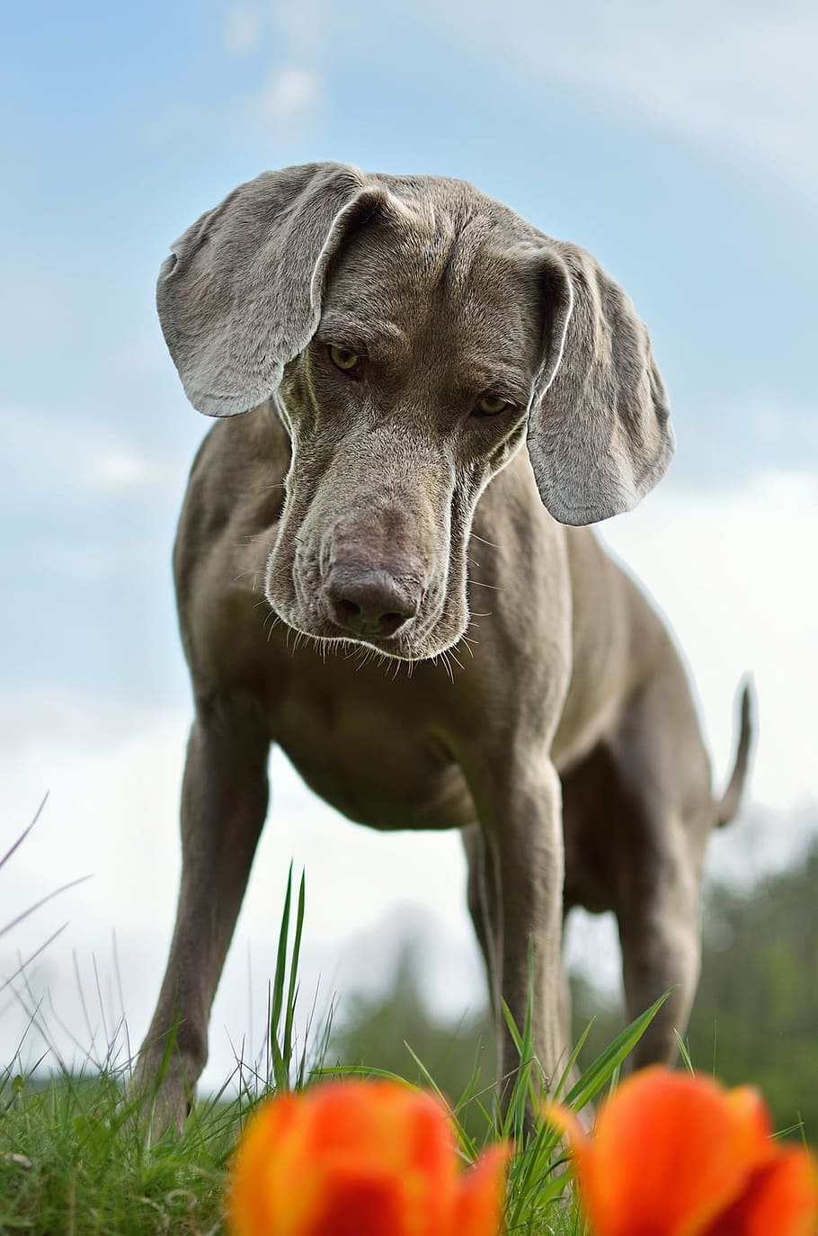 dog-weimaraner-standing-dog-one-animal