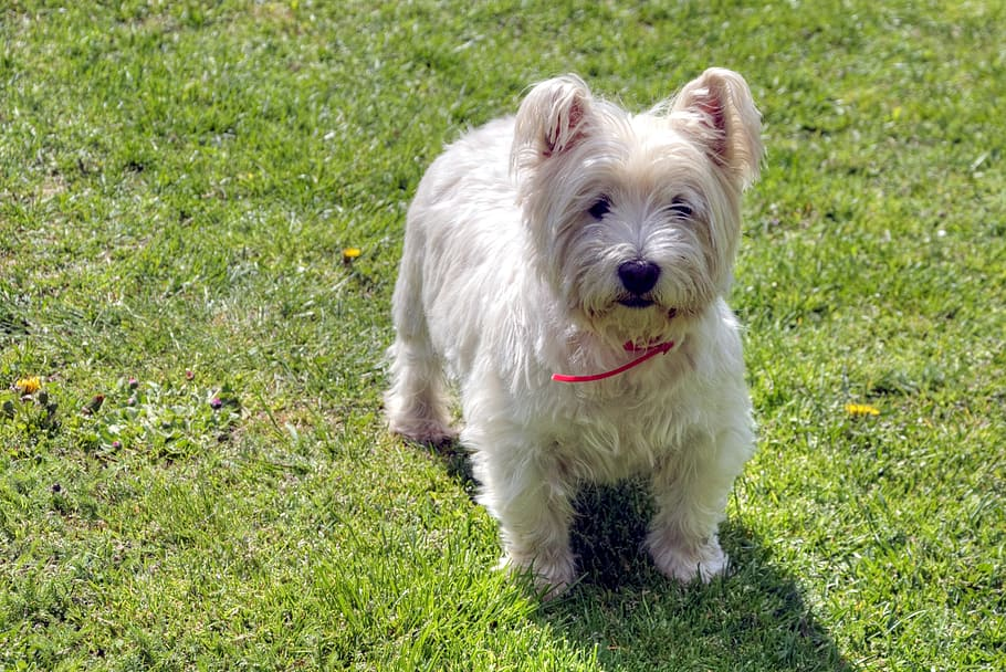 dog-west-highland-white-terrier-pets-westie