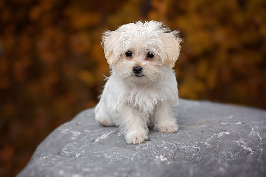 dog-white-maltese-puppy