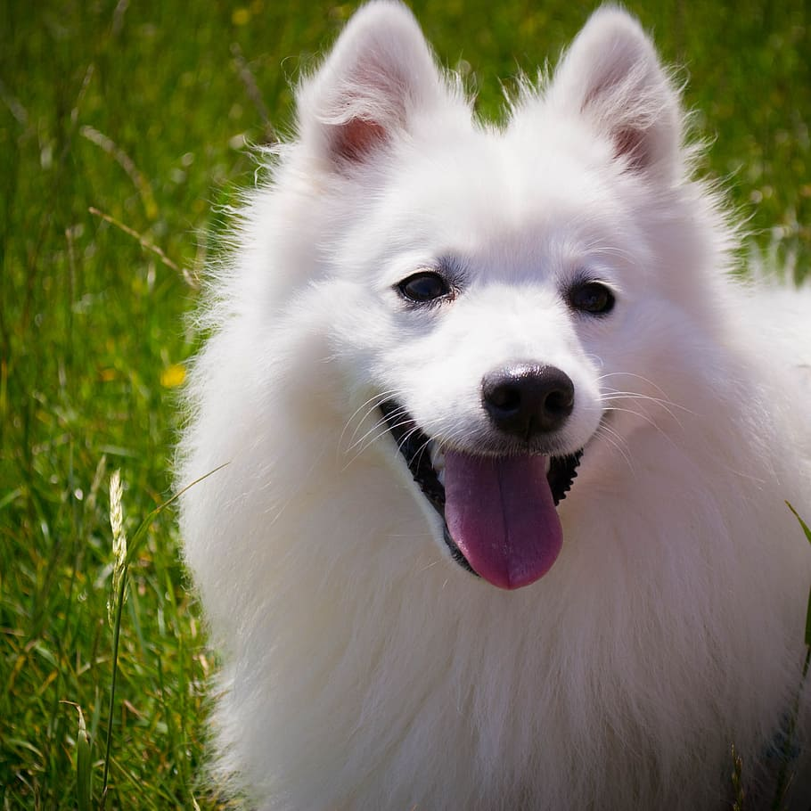 dog-white-smile-fluffy