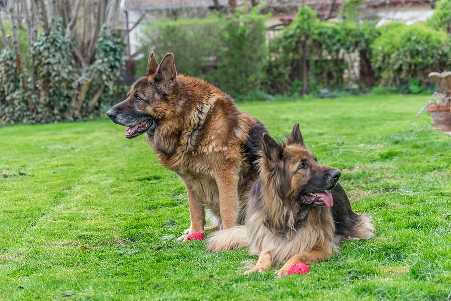 dogs-german-shepherd-canine-pet
