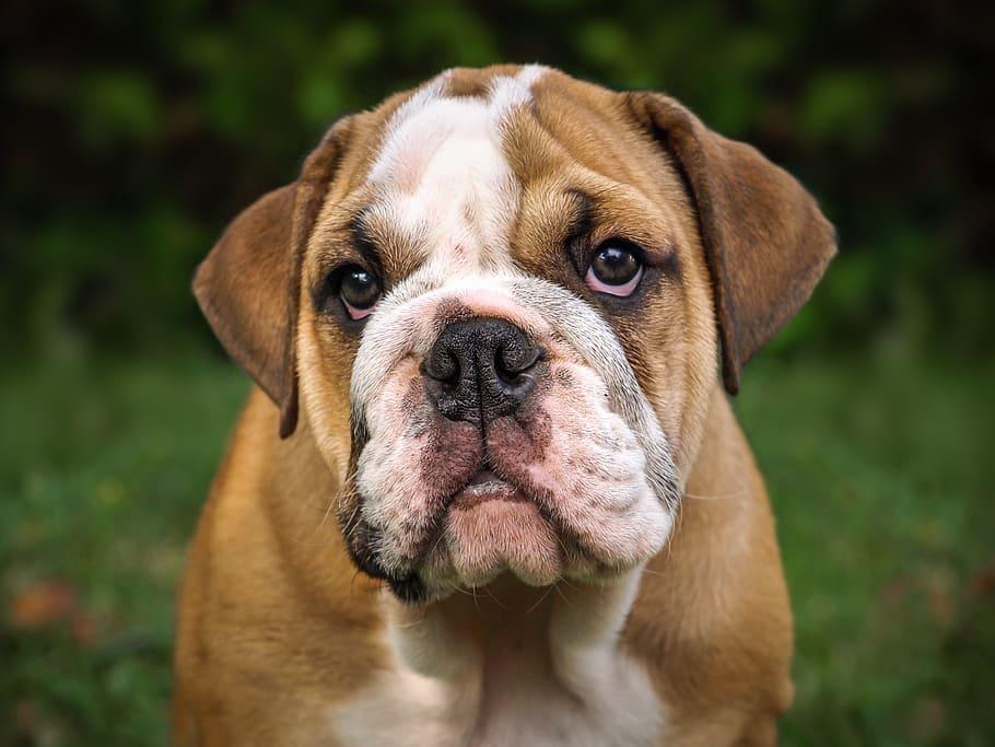 english-bulldog-dog-mammal-cute