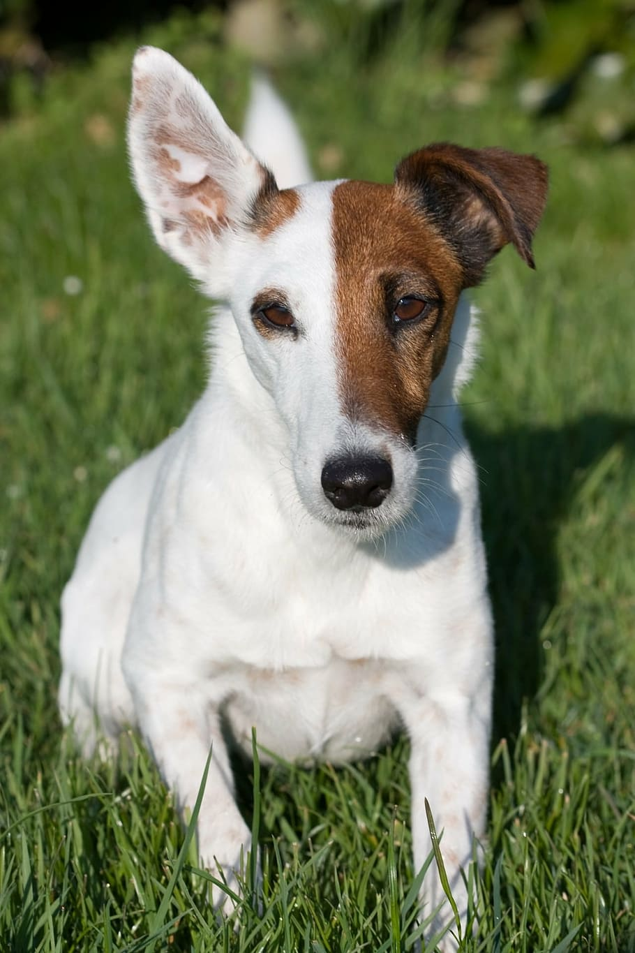 fox-terrier-smooth-fox-terrier-miniature-smooth-fox-terrier-dog