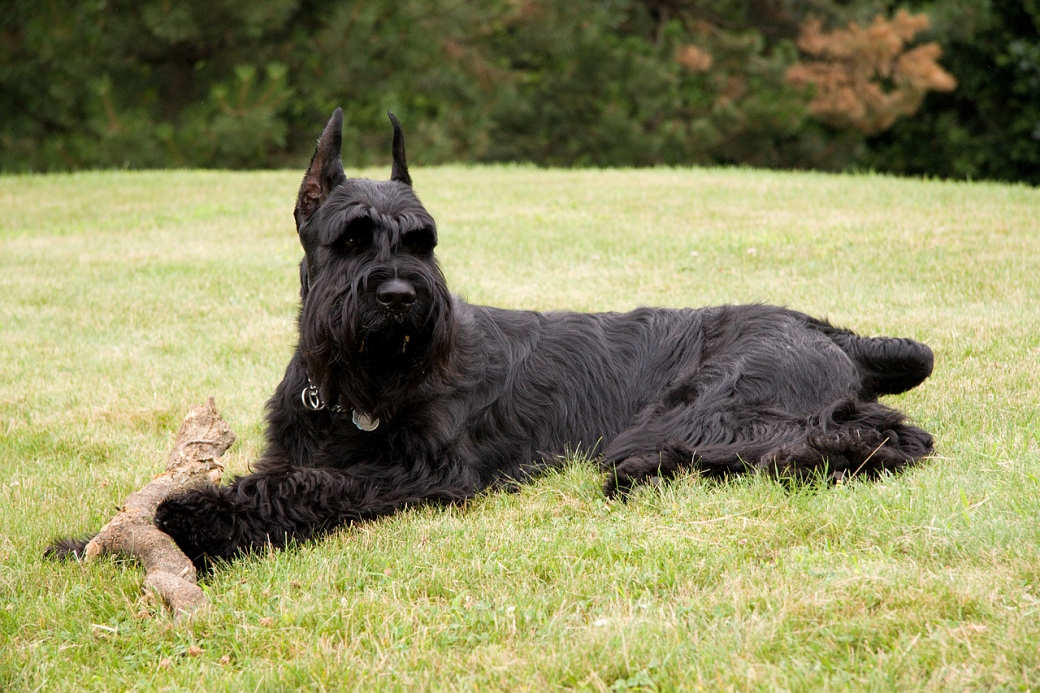 Giant Schnauzer with a log in a park
