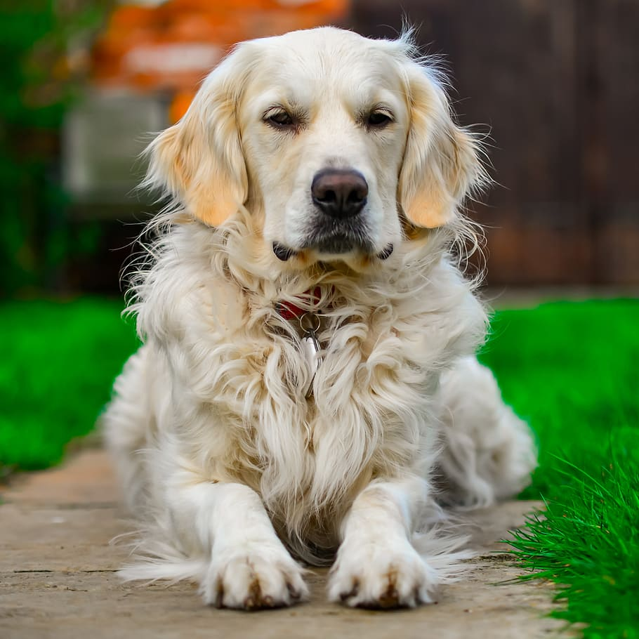 golden-retriever-relax-portrait-dog
