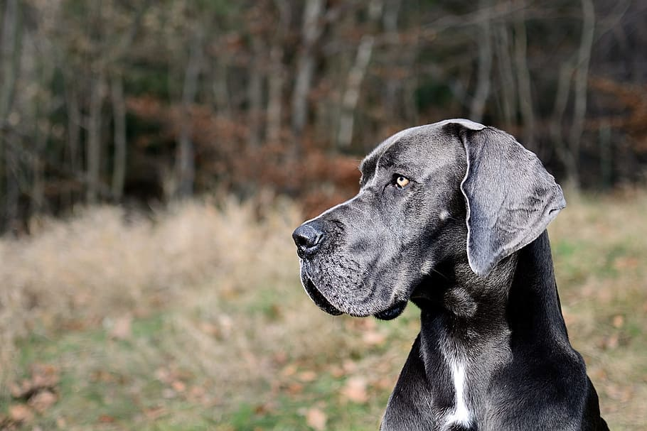 great-dane-portrait-head