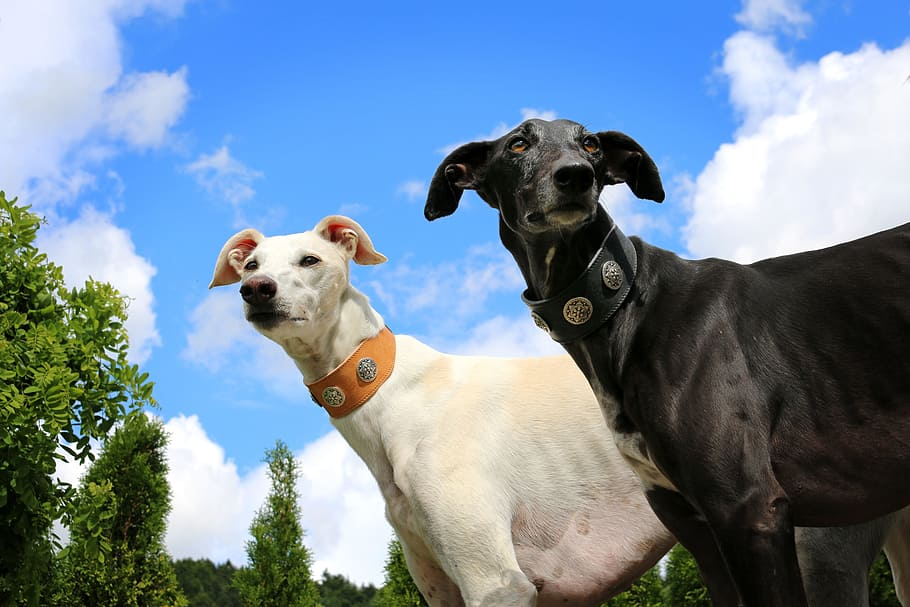 greyhound-galgo-sighthound