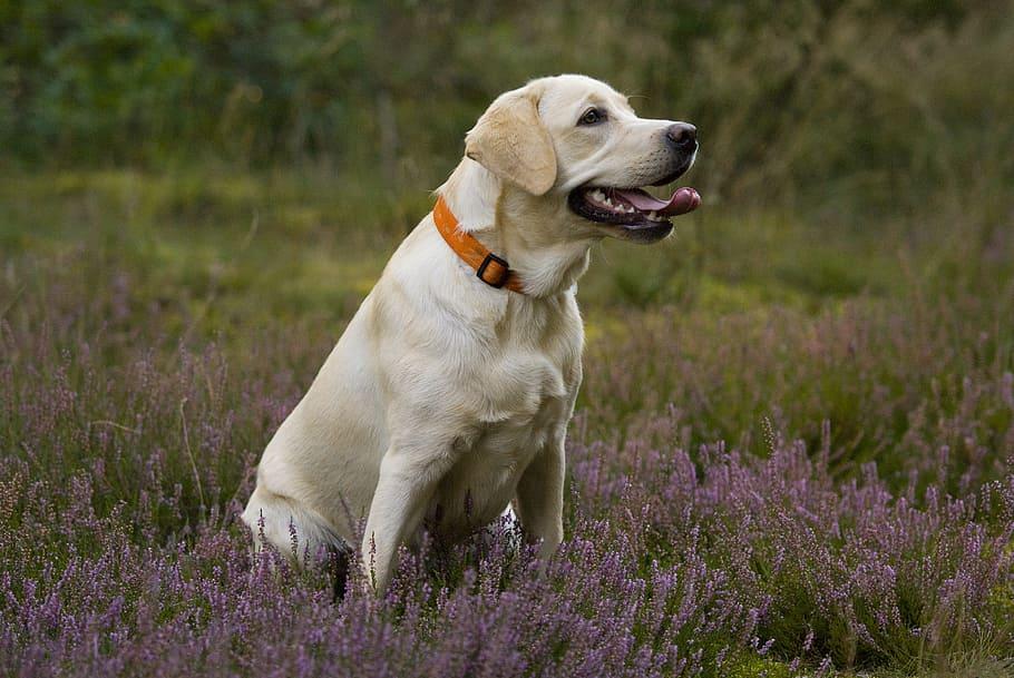 labrador-labradorka-puppy